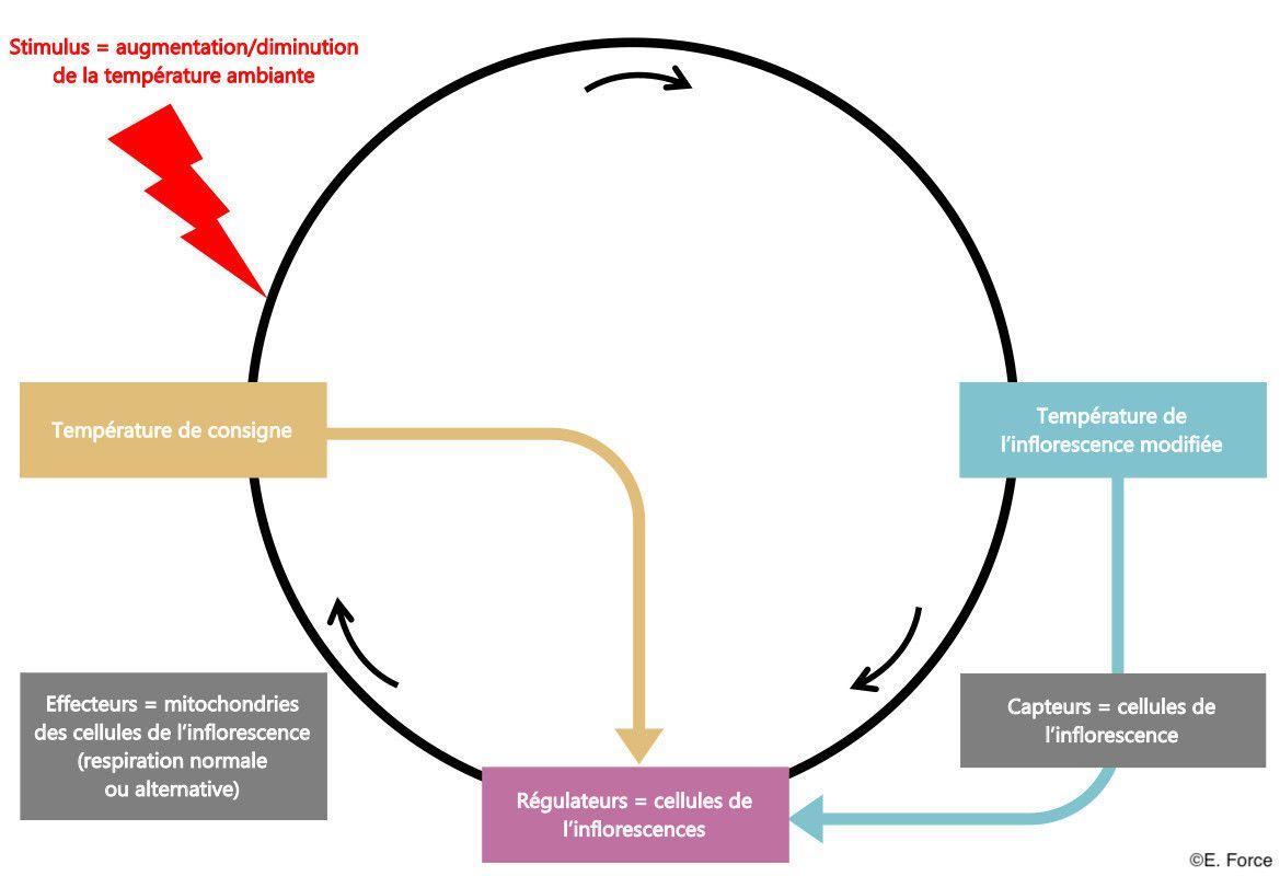 Figure 3. Contrôle de la thermorégulation chez les Aracées (illustration : E. Force).