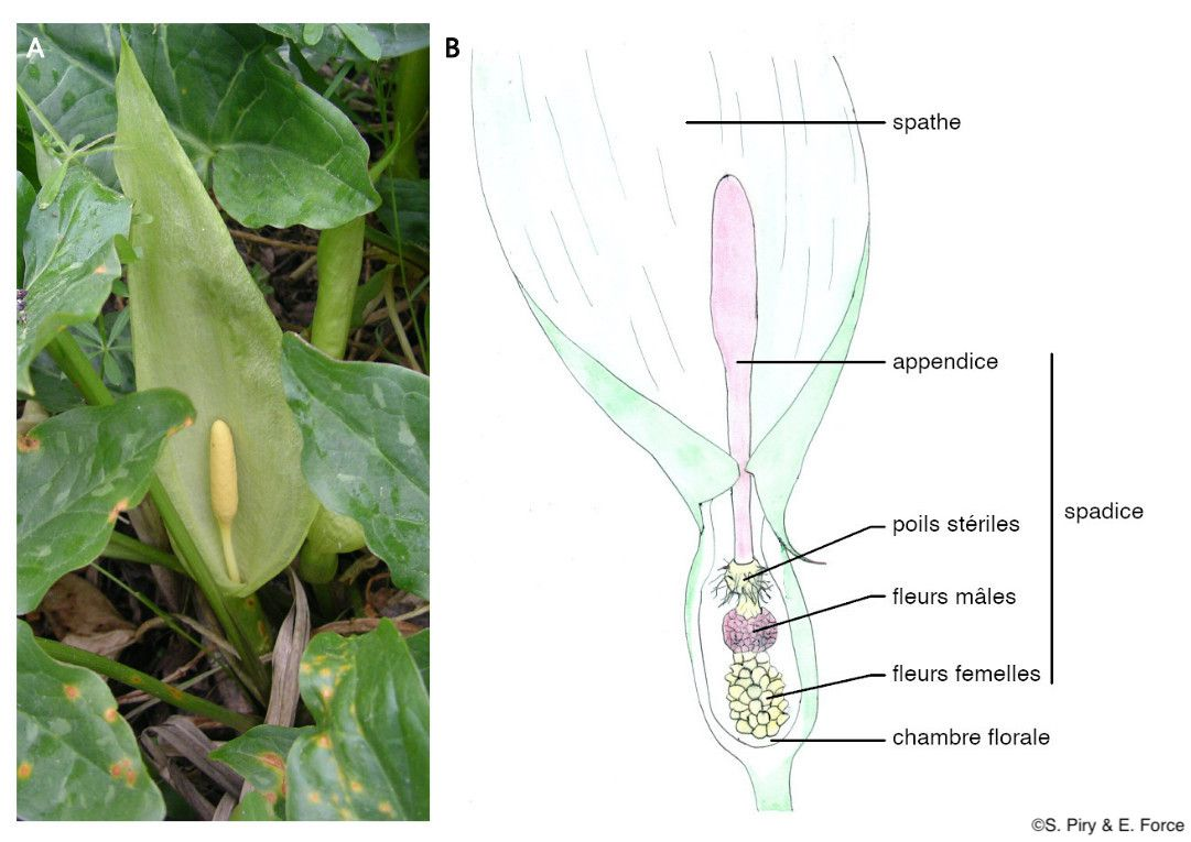 Figure 1. A : Gouet d'Italie, Arum Italicum Mill. (crédit photo : S. Piry) ; B : anatomie d'une fleur d'Aracées (illustration : E. Force).