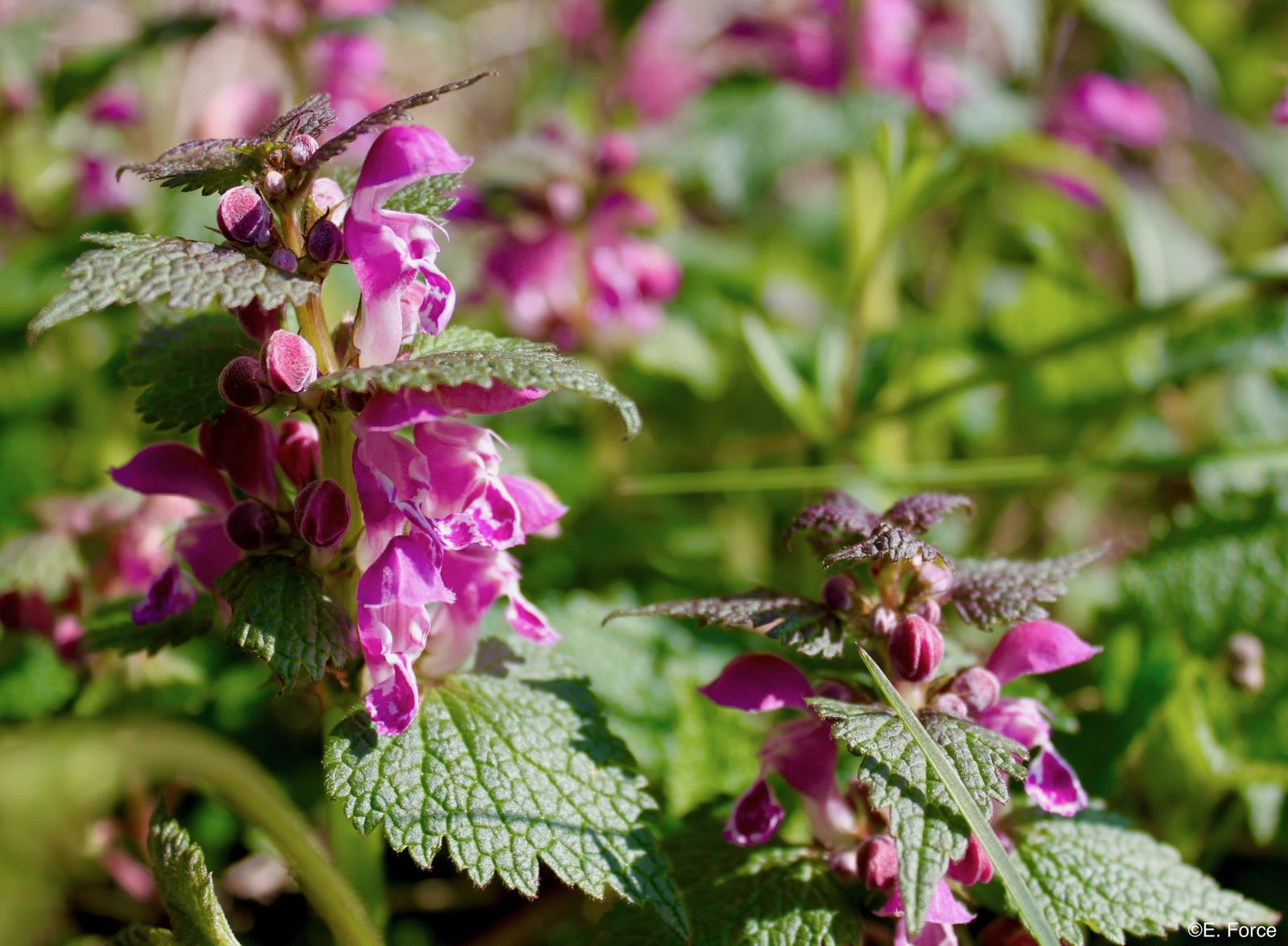 Lamium maculatum L. (crédit photo : E. Force).