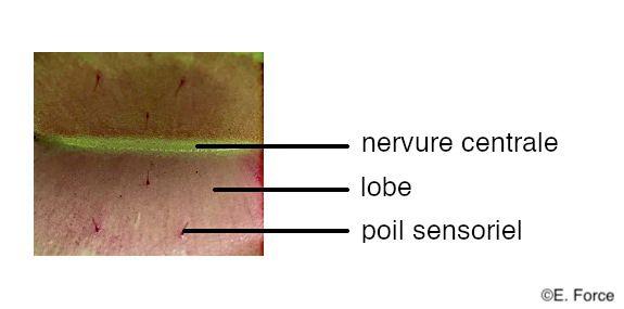 Figure 5. Vue détaillée de l'intérieur de la feuille de Dionea muscipula (crédit photo : E. Force).