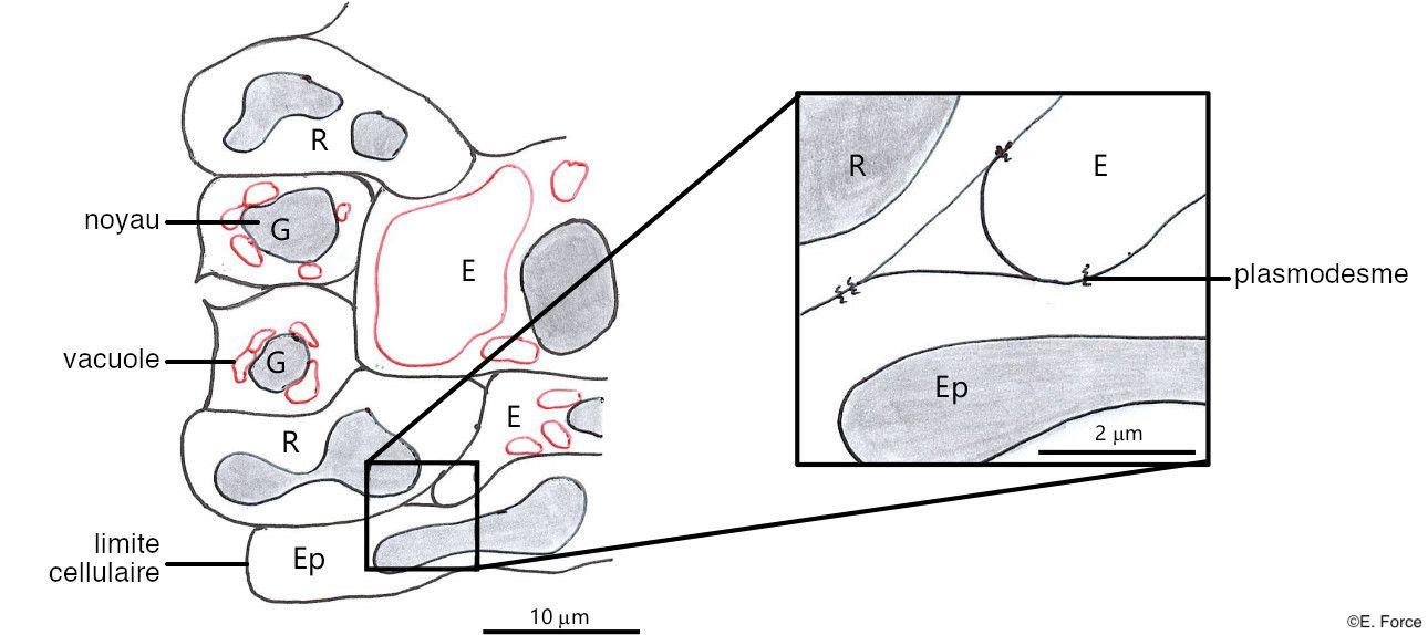 Figure 3. Schéma d'une coupe longitudinale d'un pulvinus tertiaire de Mimosa pudica en microscopie électronique à transmission (illustration : E. Force, d'après Visnovitz et al., 2008). G : cellule de garde constituant un stomate ; R : cellule mécano-réceptrice ; E : cellule motrice ; Ep : cellule épidermique ; Plasmodesme : interruption de la paroi permettant une jonction cytoplasmique entre deux cellules voisines.