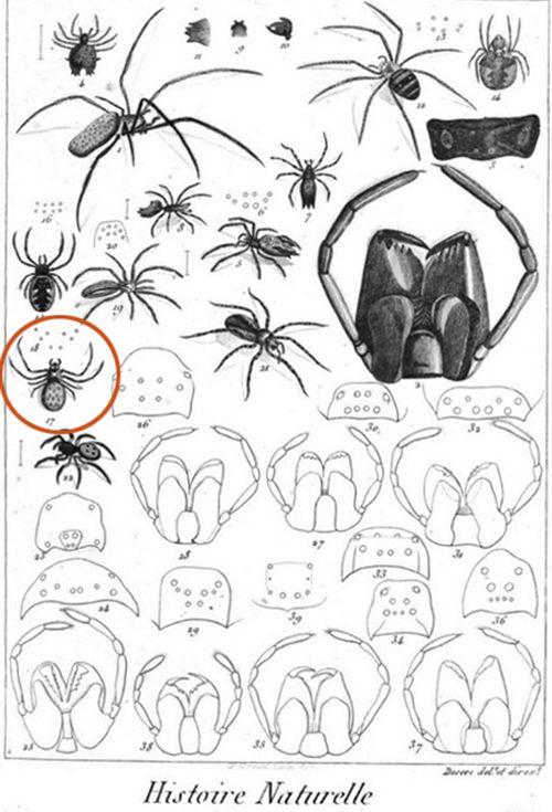 Planche 340 (dessin n°17) du Tableau encyclopédique et méthodique des trois règnes de la nature (1830?)
