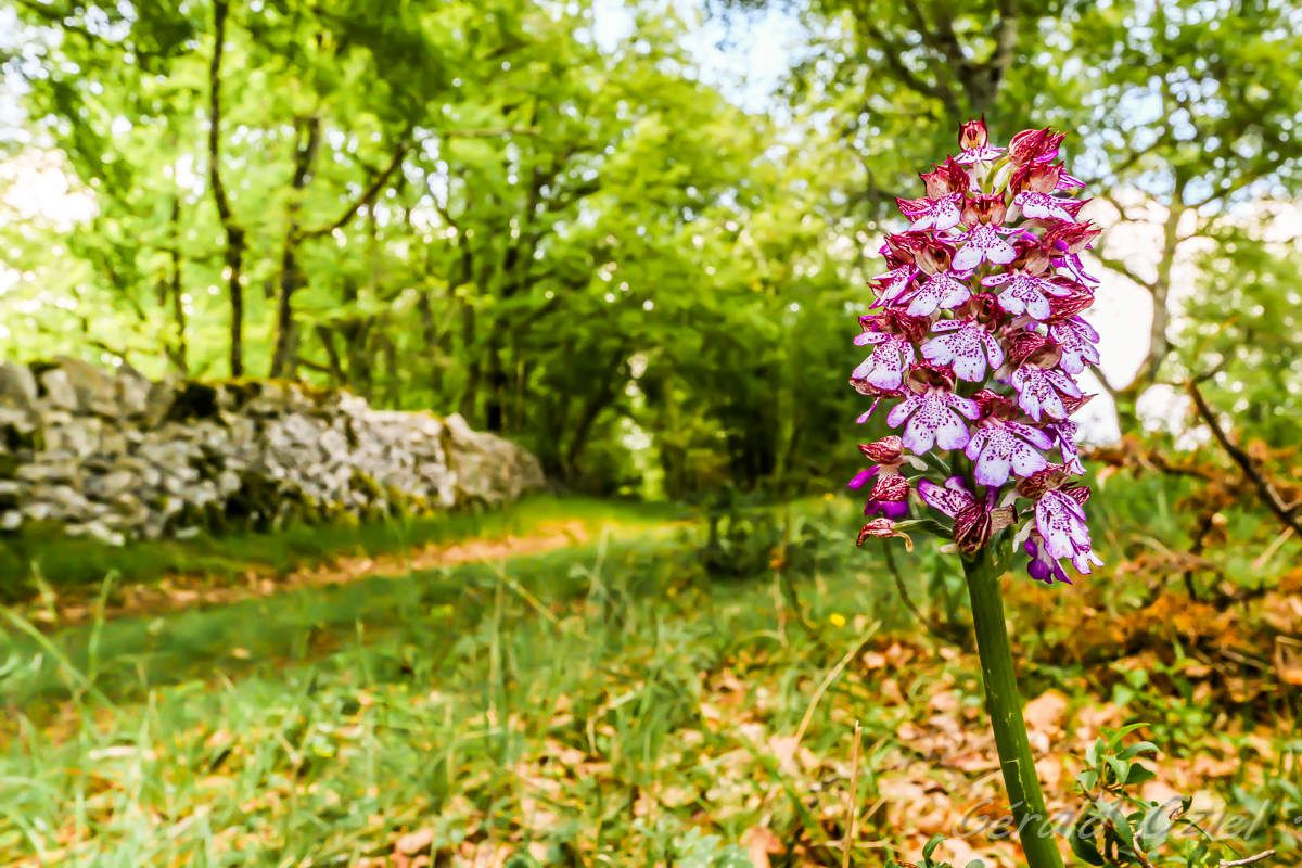 Orchis pourpre.