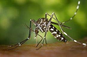 A propos du moustique Tigre