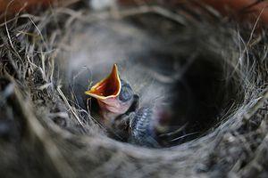 Les oiseaux utilisent les mégots de cigarettes comme répulsif