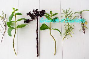Herbier d'Hiver, Boutures Tsé Tsé d'Aromatiques