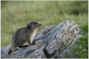 marmottes fin