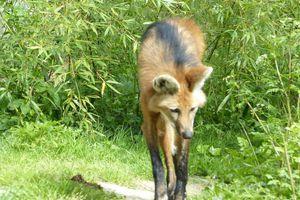 Le loup à crinière du zoo des Sables