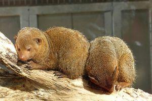 Les bébés mangoustes du Zoo des Sables d'Olonne