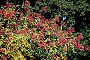 Le poivre de Sichuan : épice et plante d'ornement