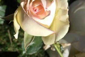 Je vous offre ces quelques roses...