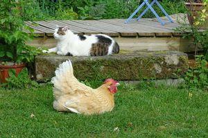 Les poules vous appellent par votre prénom