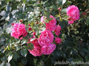 b9. Les rosiers en D