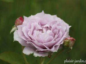 Le rosier 'Novalis'
