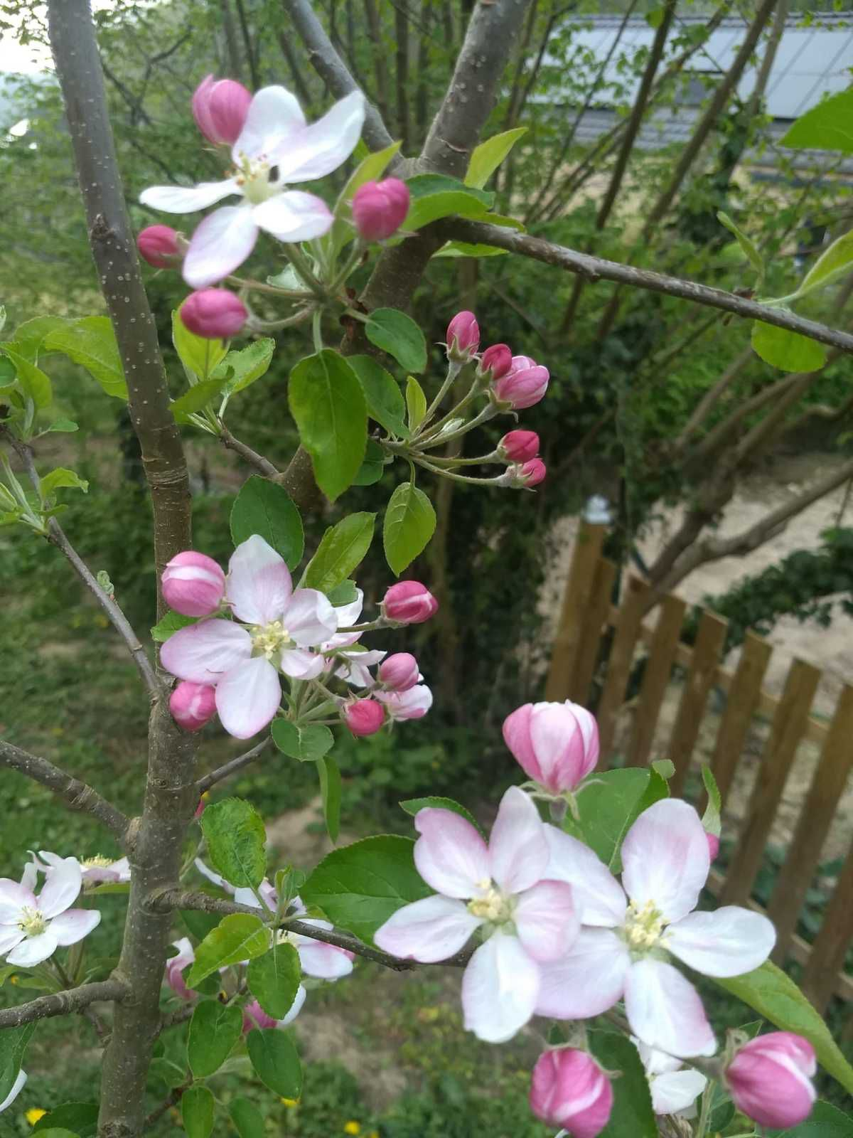fleurs du pommier golden delicious - 19 avril 2020
