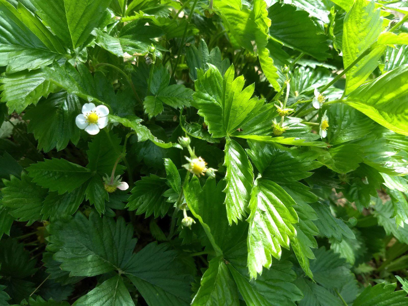 fraises des bois - 11 mai 2020