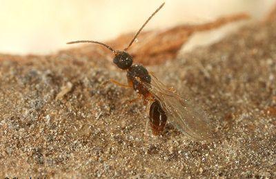 Strumigenys tenuipilis