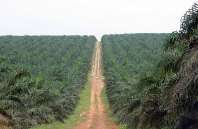 La Centrafrique relance sa production d'huile de palme