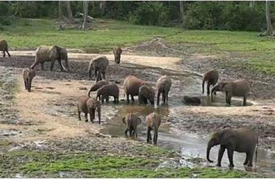 Centrafrique : la faune, victime du conflit en cours