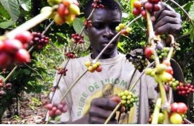 Faible production du café en Centrafrique