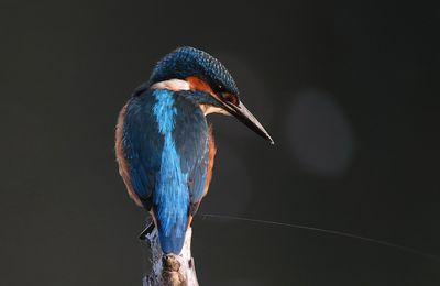 martin pêcheur en digiscopie