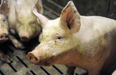 Touche pas à mon porc !