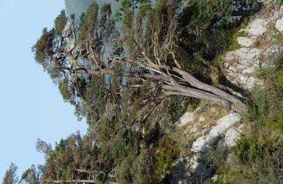Les Pins sylvestre de la Colmiane (Alpes-maritime)