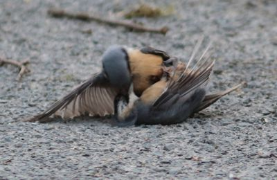 Bataille entre oiseaux