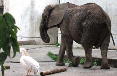 L'éléphant et le pélican - Chaton