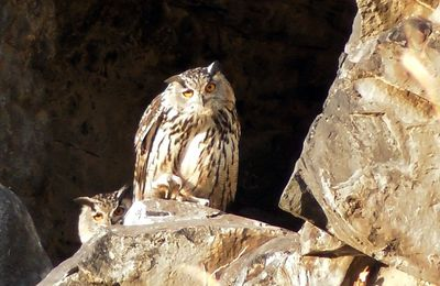 HIBOU GRAND DUC D'EUROPE, PUY DE DOME, VIDEO