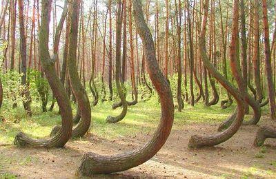 Les arbres courbés de la forêt de Krzywy Las