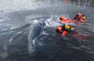 Une baleine de 15 mètres de long bloquée dans le Vieux-Port de Marseille