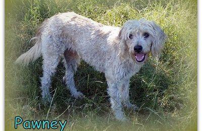 Adopté  Pawney mâle de 4 ans