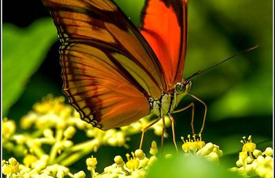 Les papillons - Dryas iulia