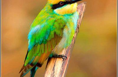 Les oiseaux - guêpier arc en ciel