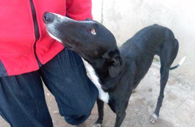 S. Boyer chien lévrier galgo robe noire de 5 ans à l'adoption chez sos chiens galgos