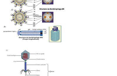 Bactériophage et phagothérapie