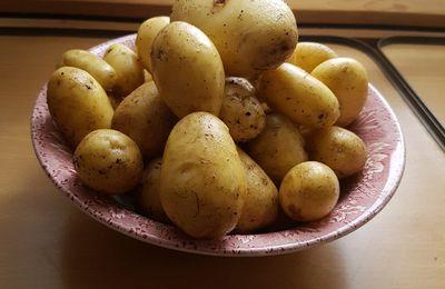 Kartoffelernte beim Blogger: 1,3kg aus Blumenkiste 80x40cm bei Einsatz von 5 Keimkartoffeln