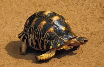Madagascar : 370 tortues saisies à l'aéroport d'Ivato