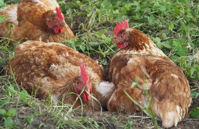 Die Hühner sind wieder im Freien