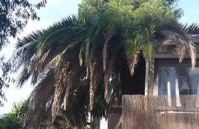 Deux autres palmiers attaqués...