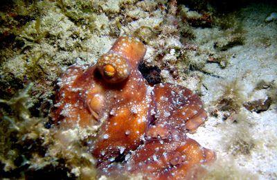 Octopus luteus: la marche du poulpe étoilé dans l'an 2017-photos et vidéo sous-marine