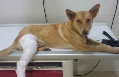 Sylvana chiot de 8 mois roué de coups de pied, trouvé avec une patte fracturée par les bénévoles du refuge de Tobarra