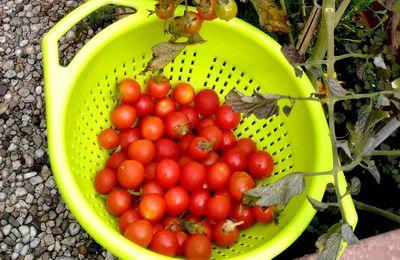 La saga de mes tomates, 22 juillet 2017