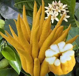 Le Citrus medica var. sarcodactylis ou variété de cédrat
