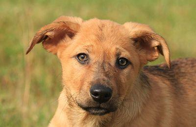 Bientôt un chien à l'Élysée ? Monsieur le Président, adoptez un chien berger d'Auvergne !