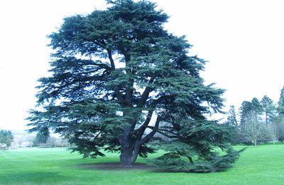 Les plus beaux arbres de la région : le Cèdre de Rentilly