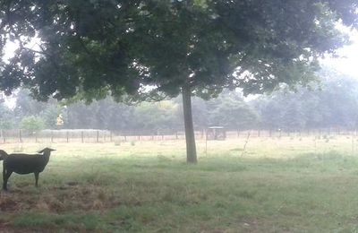 Il pleut pour les moutons aussi...