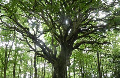 A un vieil arbre