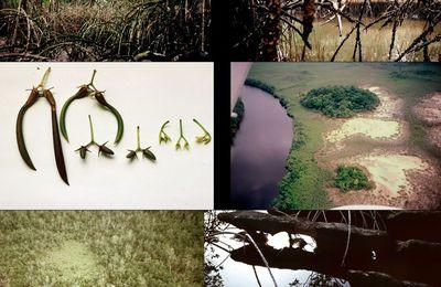 La mangrove en images : 2. La Mondah (Gabon) suite